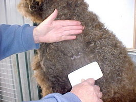 Brushing the Labradoodle