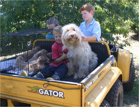 Labradoodle puppies at Rutland Manor being Travel Prepped
