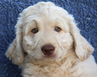 8 weeks old Rutland Manor Australian Labradoodle Puppy
