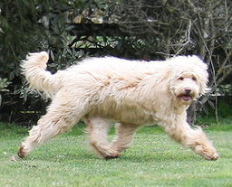 Rutland Manor Labradoodle Correct Movement